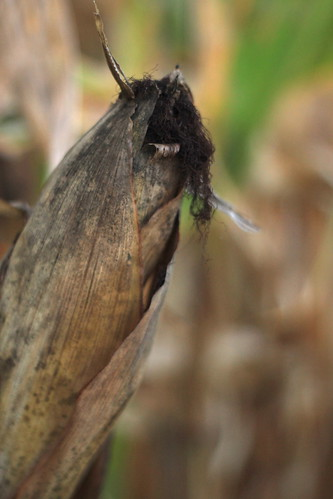 Indiana cornfield