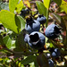 07-28-11: Picking Wild Blueberries