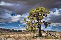 Grandaddy Joshua Tree (johncorney) Tags: dramaticsky cloudysky joshuatreenationalpark desertscape bigjoshuatree publandsnw11 pbjcfbdesertsouthwestcollection