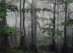 Silent Conflict (Ranga 1) Tags: david fern nature forest landscape australian young australia melbourne victoria explore jungle ferns olinda treefern sassafras dandenongs dandenongranges thedandenongs afsnikkor50mm14g mountdandenongmistfoggreennikon