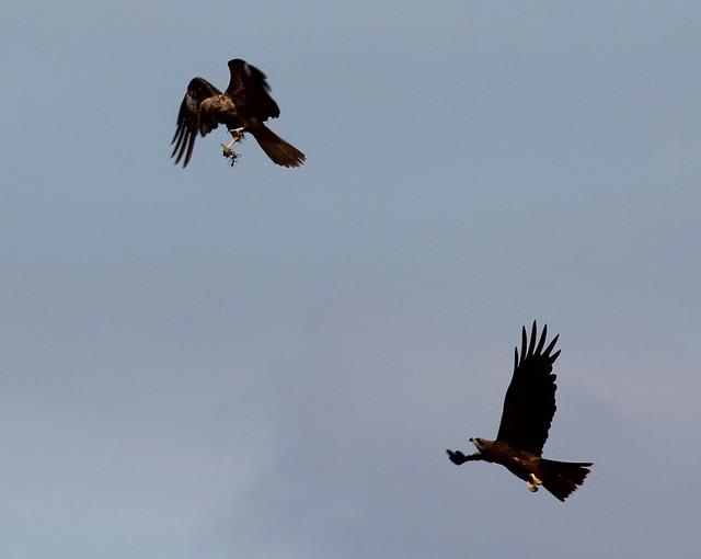 Whistling Kite (Falcon Raptor)