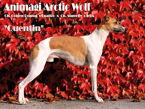 Animagi Arctic Wolf (Quentin) fast 4 Jahre alt