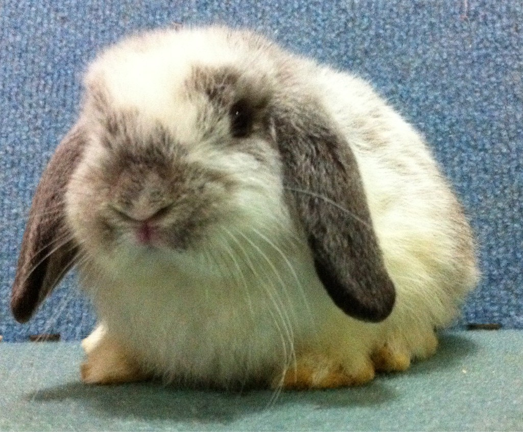 Sable Chinchilla Rabbit Broken Sable Chinchilla