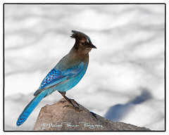 Stellar's Jay in the Snow (Michael Pancier Photography) Tags: snow oregon volcano pacificnorthwest craterlake stellersjay craterlakenationalpark commercialphotography naturephotographer centraloregoncoast oregonbirds pacificnorthwestbirds michaelpancierphotography landscapephotographer fineartphotographer michaelapancier wwwmichaelpancierphotographycom