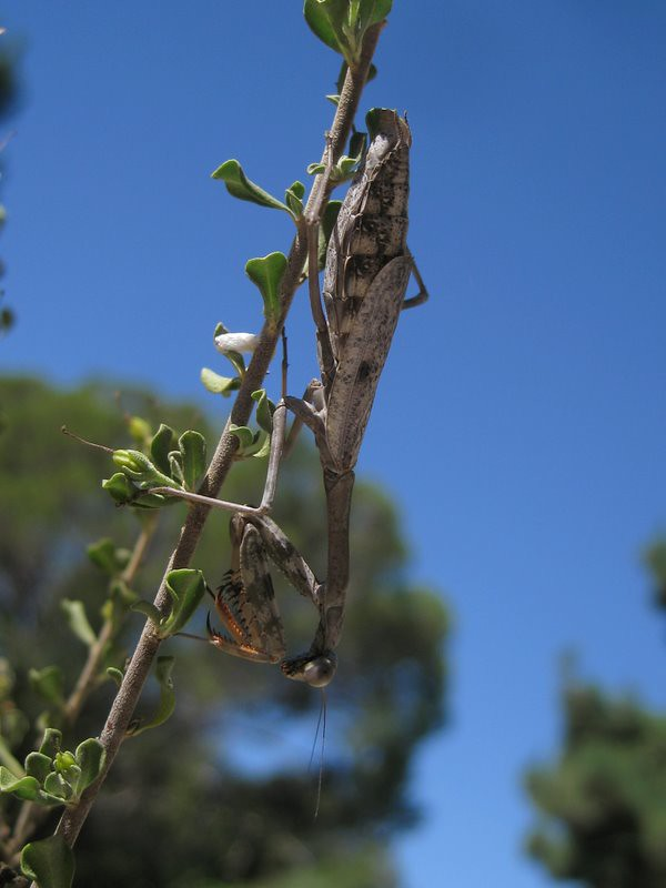 pretty mantid