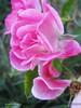 زهرة الفردوس - Paradise Flower (نمو) Tags: pink flower green art love nature beautiful amazing pretty heaven paradise happiness pinky وردة ورود الجنة زهرة الطبيعة سبحان جمال الحب جنة حب جميل طبيعة أمل أخضر زهور السعادة سعادة زهري الفردوس