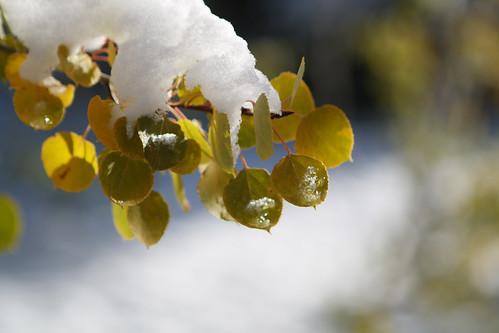 aspen leaves-2