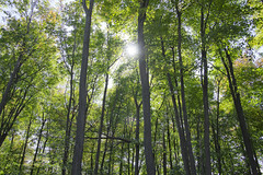 The Sun Shining Through Trees (Fred Glozman) Tags: canada tree green nature sunshine woods montreal tall growing