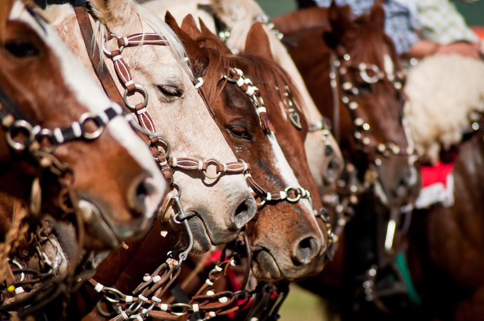 Uno de los caballos misioneros se adormece mientras los jinetes de distintas caballerías se agrupan frente al escenario para dar inicio a las ceremonias patrióticas en el marco de la inauguración del Festival Ovechá Ragué el domingo 12 de Junio de 2011, poco después comenzaron las demostraciones de talento de jinetes y amazonas. (Elton Núñez)