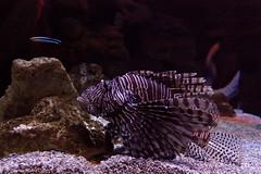 Pez Leon (Acuario de Gijn) (pacomol) Tags: espaa pez gijn asturias leon lionfish acuario acuarium cantbrico acuariodegijn