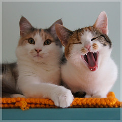 Ha Ha Ha!!! (Explored) (hehaden) Tags: rescue white animal cat kitty calico shorthaired bestofcats