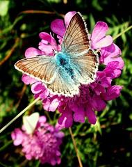 Polyommatus icarus on Knautia (arvensis?) (maramillo) Tags: pink blue flower macro butterfly one knautia commonblue polyommatusicarus bläuling bigmomma gemeinerbläuling pregamewinner maramillo