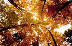 Autumn (Daniel Wildi Photography) Tags: autumn trees leaves switzerland foliage 2011 cantonbern belpberg danielwildiphotography