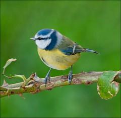 Blue tit (Margaret S.S) Tags: blue bird scotland nikon tit perch linwood margaretssweeny