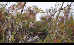 Goldy & Bronzy (majestiele) Tags: trees bare branches goldfinch norfolk finch fens migrant