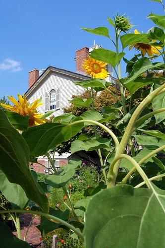 chicago sunflowers