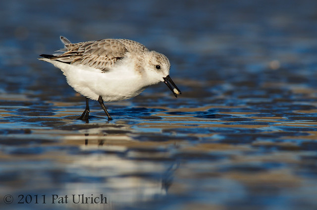 Sanderling with clam