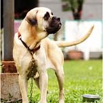 『善化收容所』1112成犬區,黃金獵犬、拉拉、哈士奇、米格魯很多、似秋田、鬆獅、米克斯、大丹、梗、現場為準、20111113 thumbnail