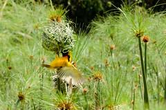 Weaver (sillie_R) Tags: bird yellow papyrus weaver ethiopia tana bahirdar tanalake