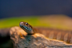 _A3M4766 (nine_six_three_GOAT) Tags: nature canon zoo niceshot outdoor snake 180 l autofocus f35 ecomuseum 2011 greatphotographers specanimal flickrestrellas ringexcellence allofnatureswildlifelevel1