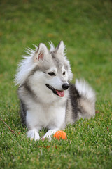 (Alexandra Kimbrough) Tags: california dog puppy toy miniature husky mini ukc akk alaskankleekai unitedkennelclub freyjasv