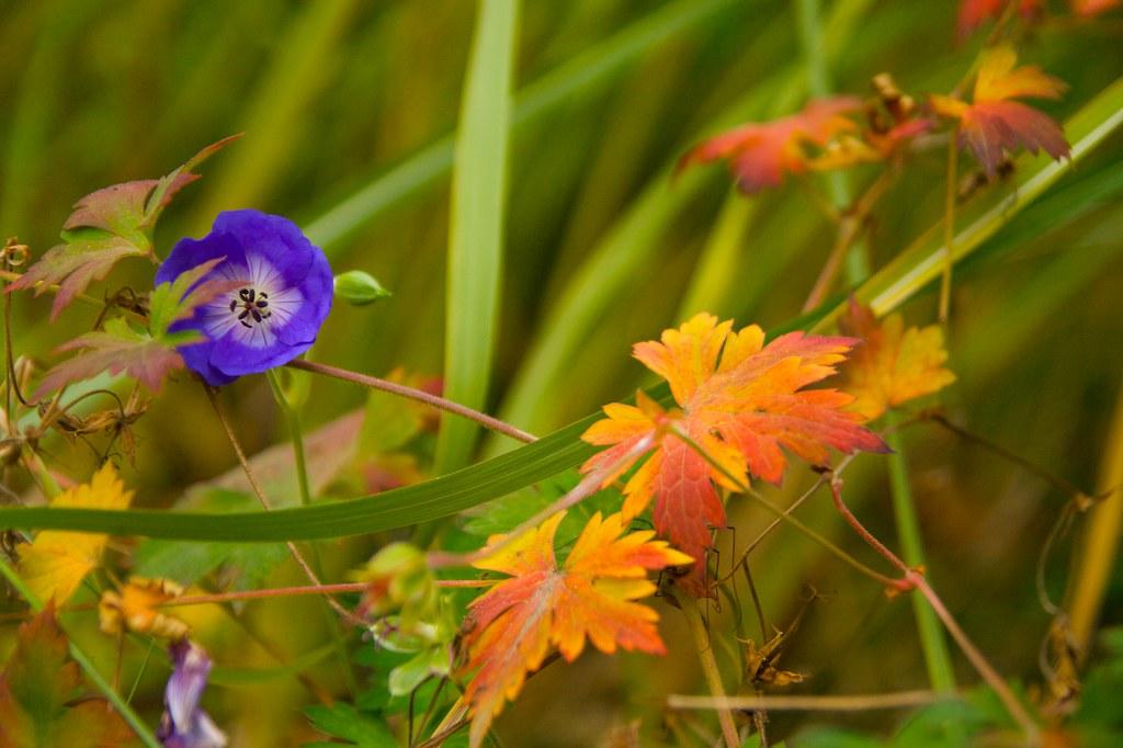 geranium rozanne  976