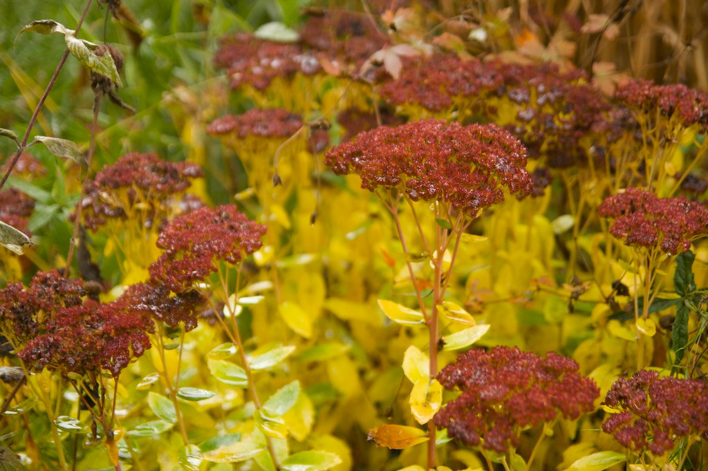 sedum autumn joy  983