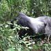 Dominant male silverback gorilla, Kahuzi-Biega National Park, Congo