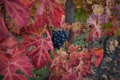 Autumn04 (Micol) Tags: autumn leaves foglie colours uva autunno colori viti