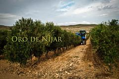 Recolección (Grupo Caparrós) Tags: españa sol de cabo natural oil grupo oliva almeria parte oro aceituna pérez fernán portocarrero caparros níjar gatanijar