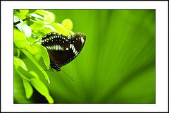 Butterfly on green leaf (e.nhan) Tags: life flowers light black flower green art nature leaves closeup butterfly landscape leaf colours dof bokeh butterflies backlighting enhan