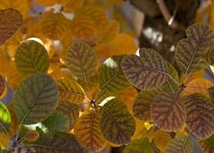 "Smoketree leaves • <a style=""font-size:0.8em;"" href=""http://www.flickr.com/photos/30765416@N06/6361276901/"" target=""_blank"">View on Flickr</a>"