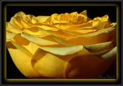 Layers of Yellow (metherit) Tags: color macro rose yellow canon petals 100mm 7d coloradosprings onblack ringexcellence metherit