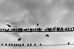 Starling / Etourneaux (Nosferah) Tags: cloud bird fly vol migration nuage oiseau starlings tourneau