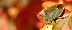 escudo otoal (vitofonte) Tags: naturaleza nature insect natura shield insecto escudo vitofonte chinchedelasplantas nezaraviridulal infinitexposure