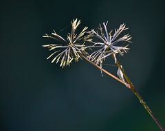 (mario guzman fotografia) Tags: flor otoño seco semilla amorseco