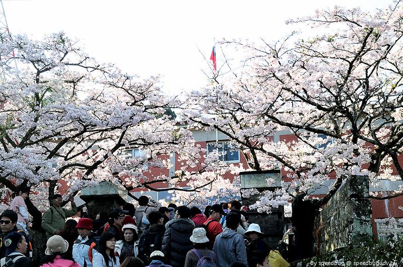 阿里山櫻花季51