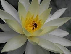Natural (Ricardo Venerando) Tags: park flowers flores flower macro green art nature brasil garden natureza olympus bee explore discovery soe abelhas naturesfinest conservacion nationalgeografic platinumphoto diamondclassphotographer ysplix goldstaraward fotocultura