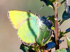 100_7398 (Cassiopée2010) Tags: nature papillon insecte mfcc cévennes arbuste thécladelaronce