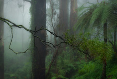 The Jungle (Ranga 1) Tags: mist nature rain fog landscape nikon rainforest australian australia melbourne victoria gums explore jungle ferns tremont treefern eucalypts dandenongs dandenongranges gumtrees davidyoung treeferns thedandenongs afsnikkor50mm14g