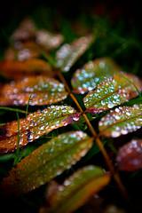 276/365, The Rowan Leaves (teroti) Tags: 365 a4 syksy