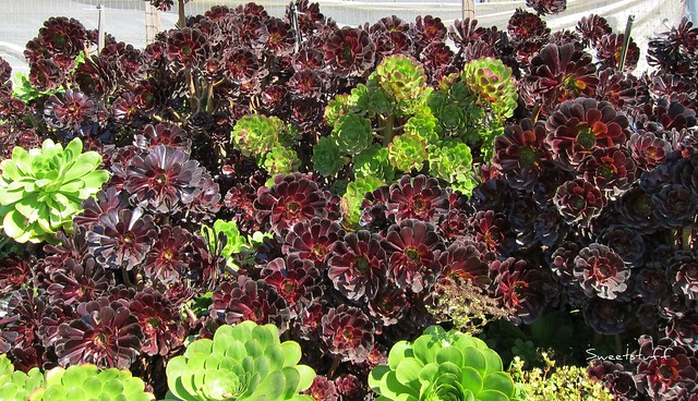 Aeoniums everywhere