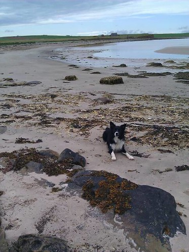A black and white border collie on a rock-strewn beach on the north side of Shapinsay