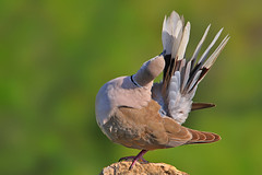 The Eurasian Collared Dove (Streptopelia decaocto) (sharadagrawal931978) Tags: india bird nature birds canon eos dove wildlife sigma os apo september eurasian rajasthan udaipur dg collared the sharad agrawal 2011 streptopelia columbidae hsm decaocto 40d f563 150500mm