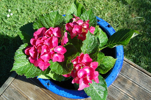 Love our new hydrangeas in the blue pots