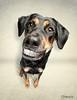 Crazy smile (chad.latta) Tags: dog chien texture smile mix nikon funny sam chad shepherd teeth humor dental perro strobe latta kayce strobist d300s ldlportraits
