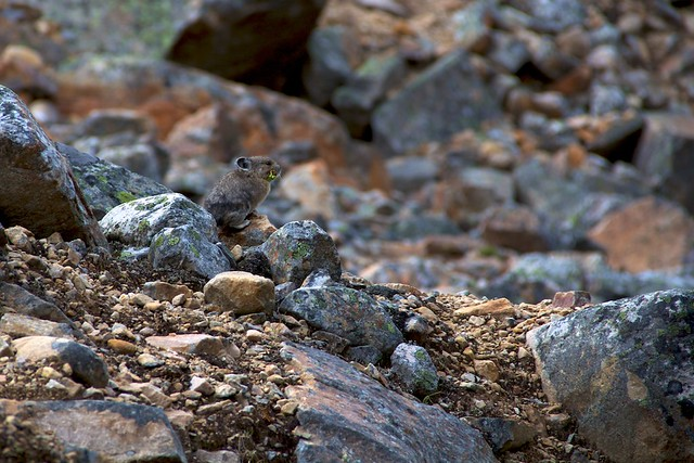 Pika on Mt Edith Cavell