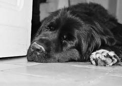 Sleep (Tinina67) Tags: dog pet france newfoundland sleep tina smilla newf odc neufundlaender tinina67