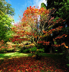 Westonbirt - Red Among the Green (Andrew Hounslea) Tags: autumn red england panorama brown color colour green fall colors leaves yellow japan japanese gold golden leaf maple nikon colours fallcolor unitedkingdom fallcolors g united kingdom arboretum panoramic gloucestershire autumncolours national westonbirt acer nikkor stitched autumnal 1224 dx fallcolours nationalarboretum fallcolour autumncolour tetbury stitchedpanorama 1224dx d300s