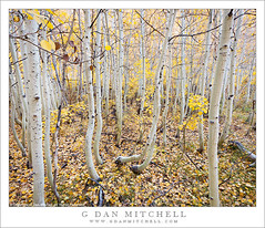 Aspen Grove, Filtered Light (G Dan Mitchell) Tags: california travel autumn light usa white mountain tree fall nature leaves yellow america creek forest season landscape gold branch floor grove south nevada north stock scenic fork canyon sierra foliage filter fallen trunk aspen eastern range bishop gentle